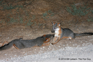 ForFeb2016Post c baylands 09 12 2013 037 gray fox pup dark face happily greeting helper female tail swish fox kiss ears excellent